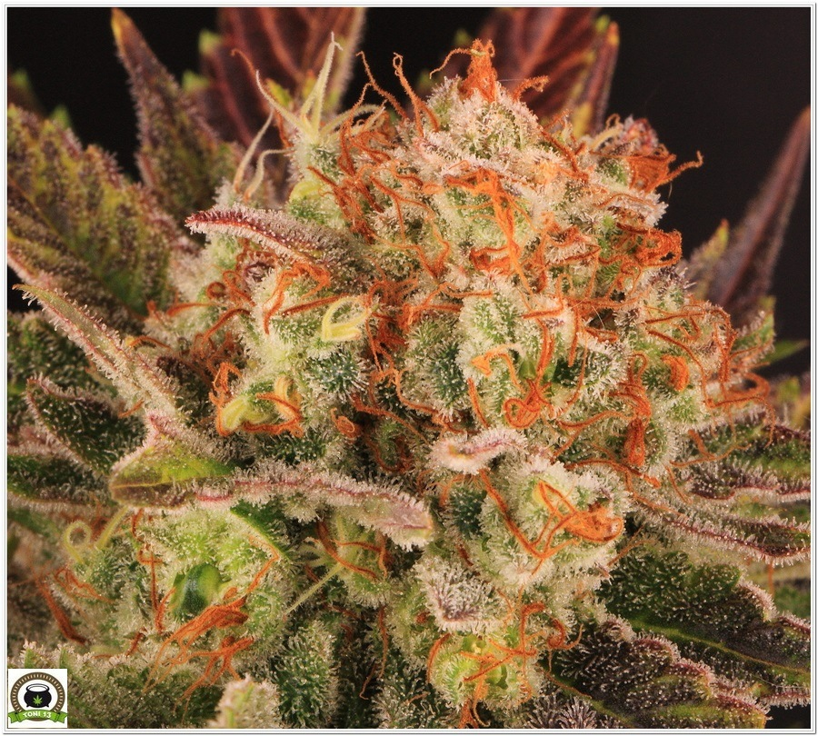 cultivo interior marihuana dos metros LED LEC 2