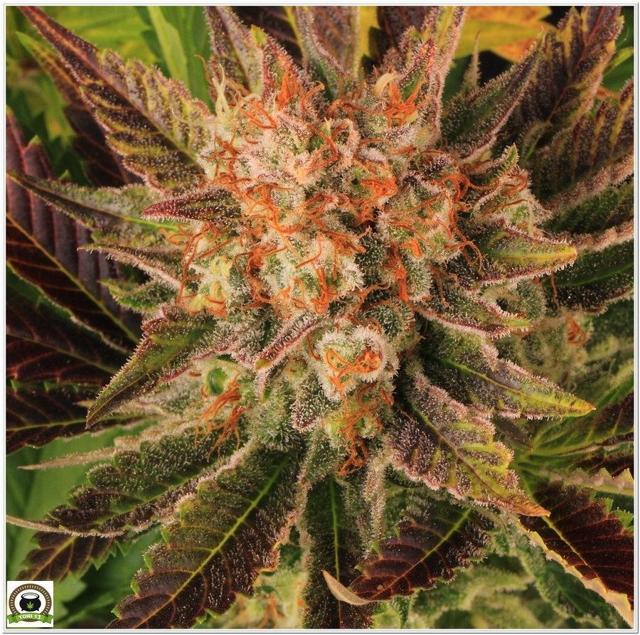 cultivo interior marihuana dos metros LED LEC 8