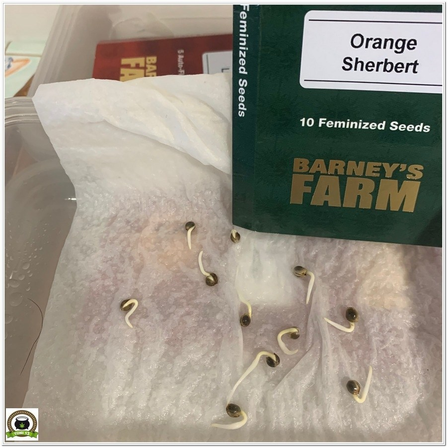 germinación orange sherbert barneys farm