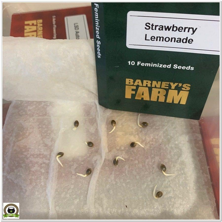 germinación strawberry lemonade barneys farm