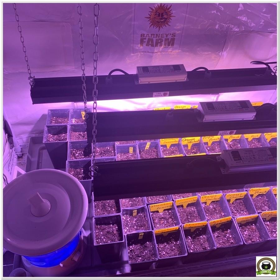 Crecimiento variedad marihuana barneys farm