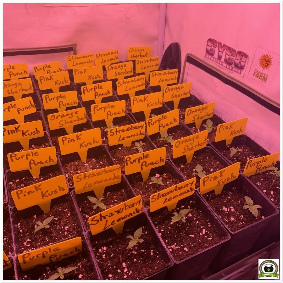 cultivo interior semillas marihuana barneys farm