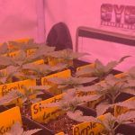 5- Barney's Farm y Toni13: Strawberry Lemonade, Orange Sherbert, Pink Kush y Purple Punch