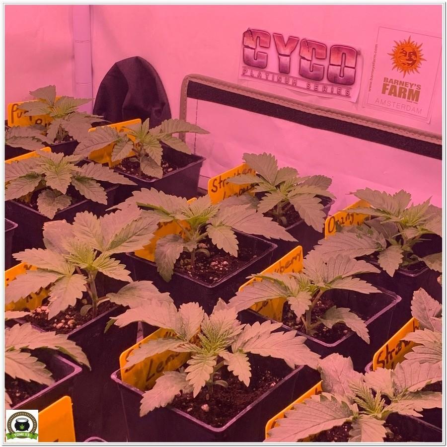 Fase de crecimiento variedades barney´s farm 3