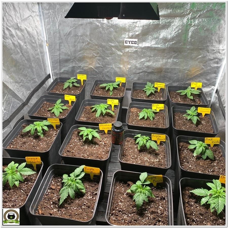 Fase de crecimiento variedades barney´s farm 4