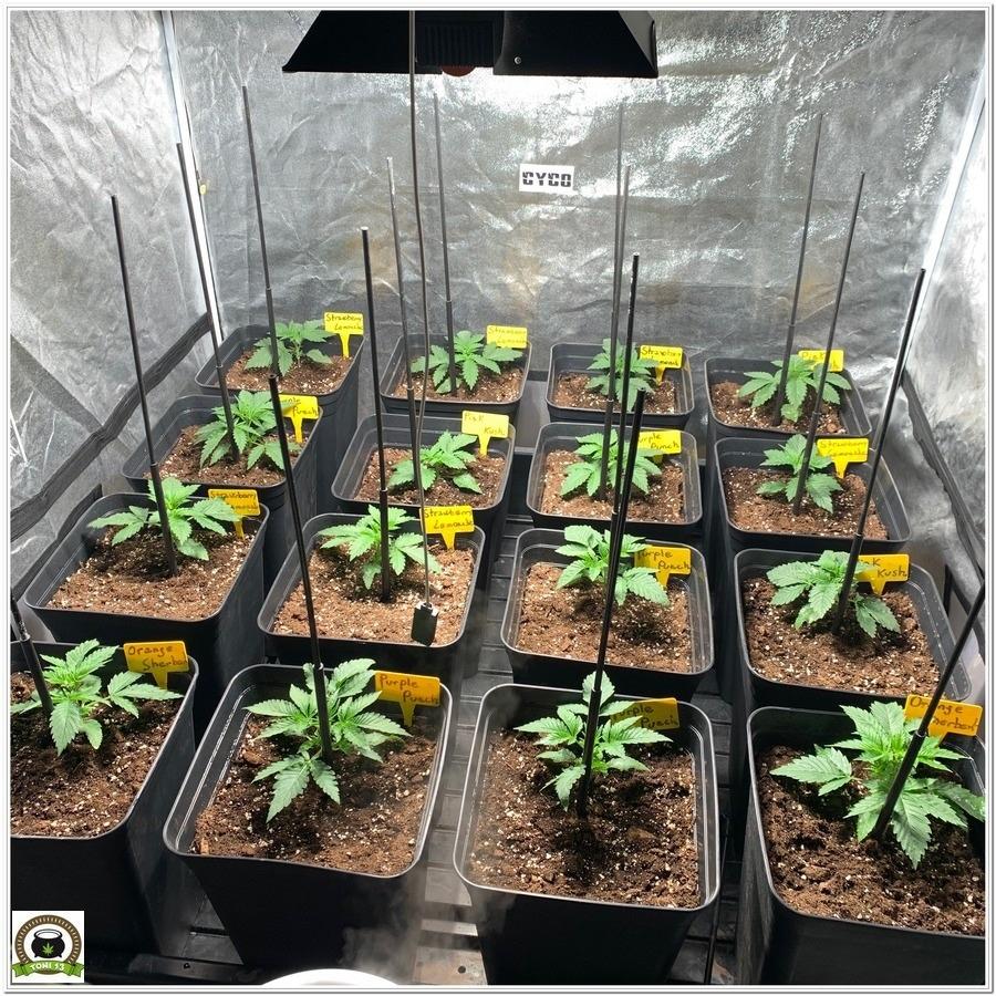 barney´s farm marijuana indoor grow