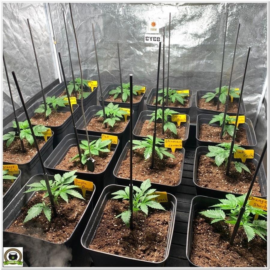 barney´s farm marijuana indoor grow 2