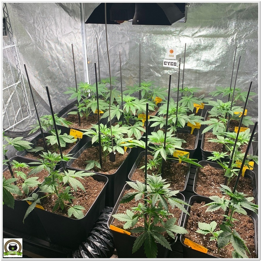 8-Barney's Farm y toni13:Strawberry Lemonade, Orange Sherbert, Pink Kush y Purple Punch-1