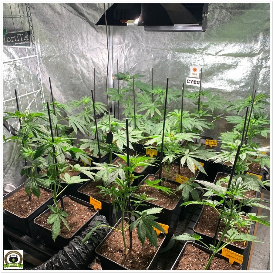 8-Barney's Farm y toni13:Strawberry Lemonade, Orange Sherbert, Pink Kush y Purple Punch-3