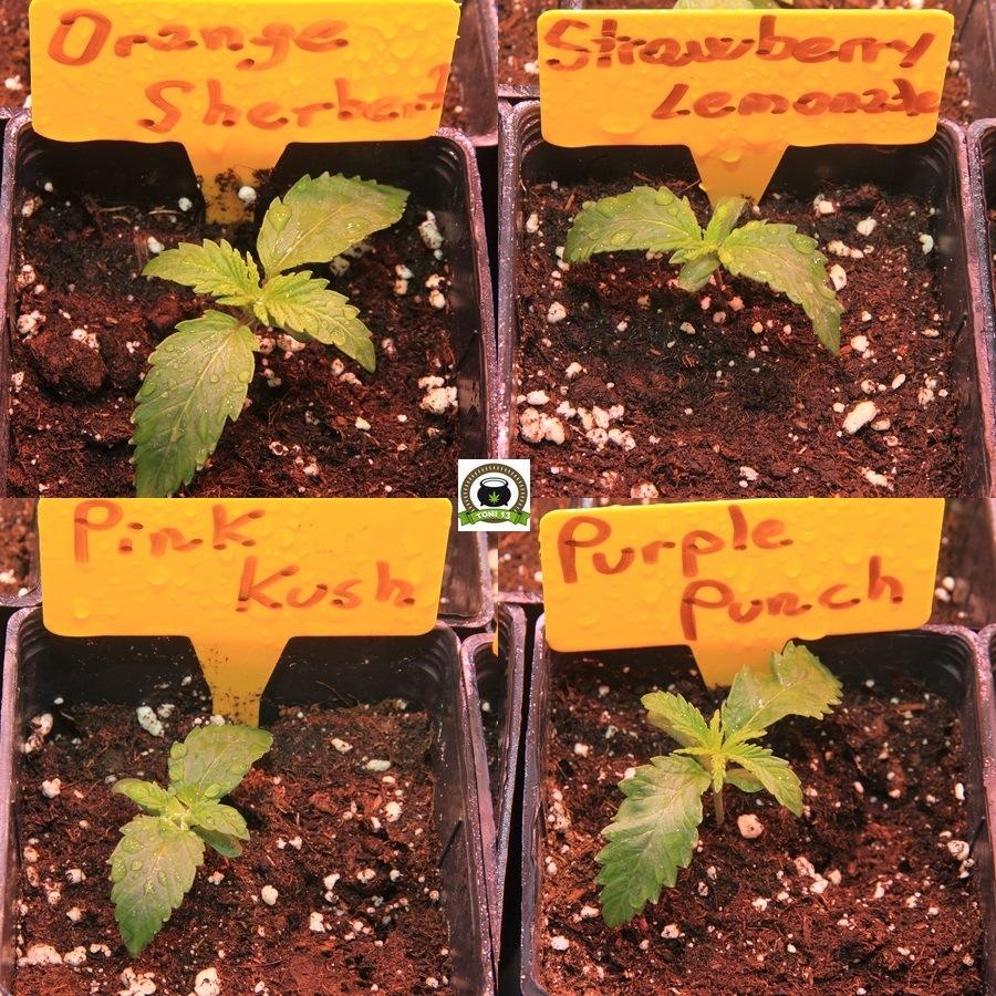 Fase de crecimiento variedades barney´s farm 1