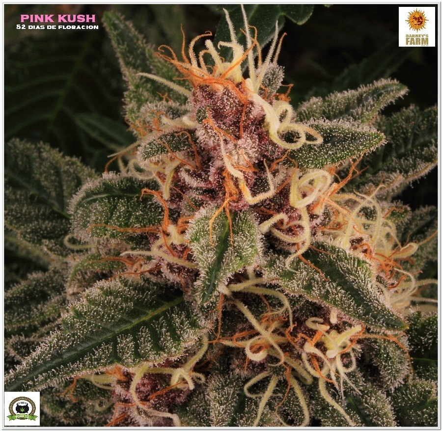 Pink kush barneys farm marijuana 2