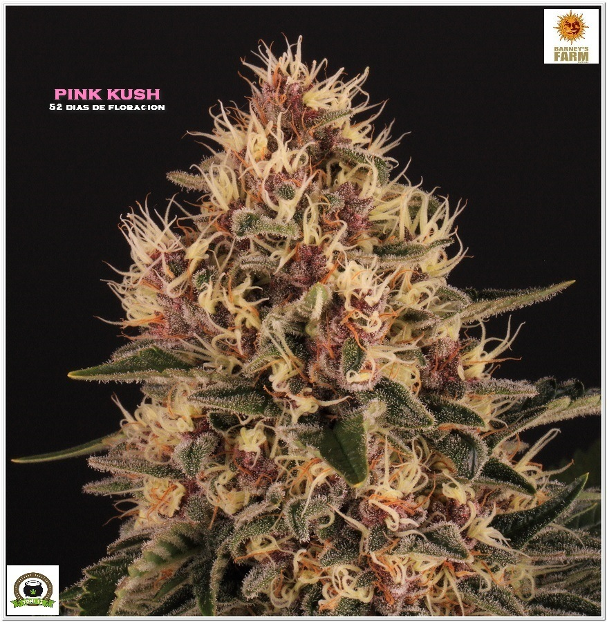 Pink kush barneys farm marijuana 3