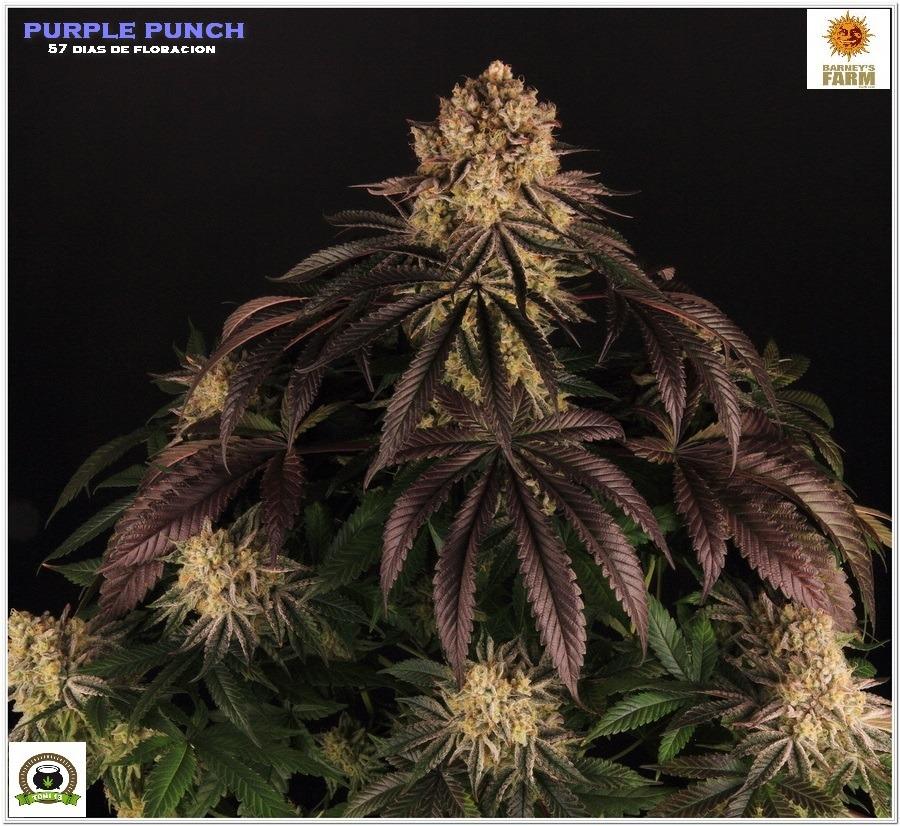 Purple Punch Barneys farm después lavado de raíces