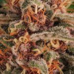 16- Barney's Farm y Toni13: Strawberry Lemonade, Orange Sherbert, Pink Kush y Purple Punch