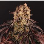 17- Barney's Farm y Toni13: Strawberry Lemonade, Orange Sherbert, Pink Kush y Purple Punch