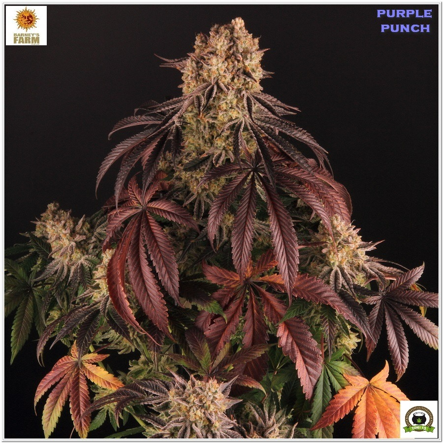 Purple Punch Barneys farm por Toni13 cultivo indoor