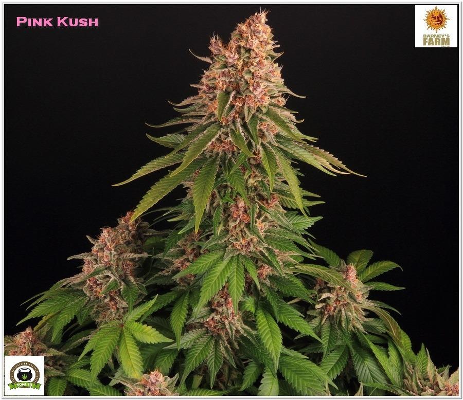 Pink Kush Barneys Farm cultivo seguimiento indoor