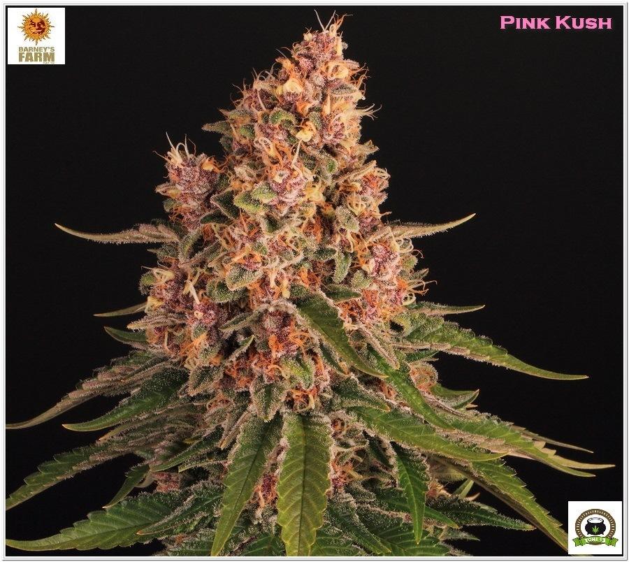 Pink Kush Barneys Farm cultivo seguimiento indoor 2