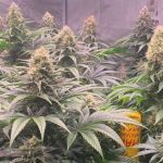 14-Barney's Farm y toni13:Strawbery Lemonade, Orange Sherbert, Pink Kush y Purple Punch.