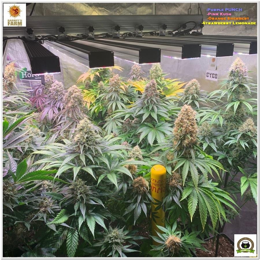 Crop barneys farm marijuana indoor plants LED