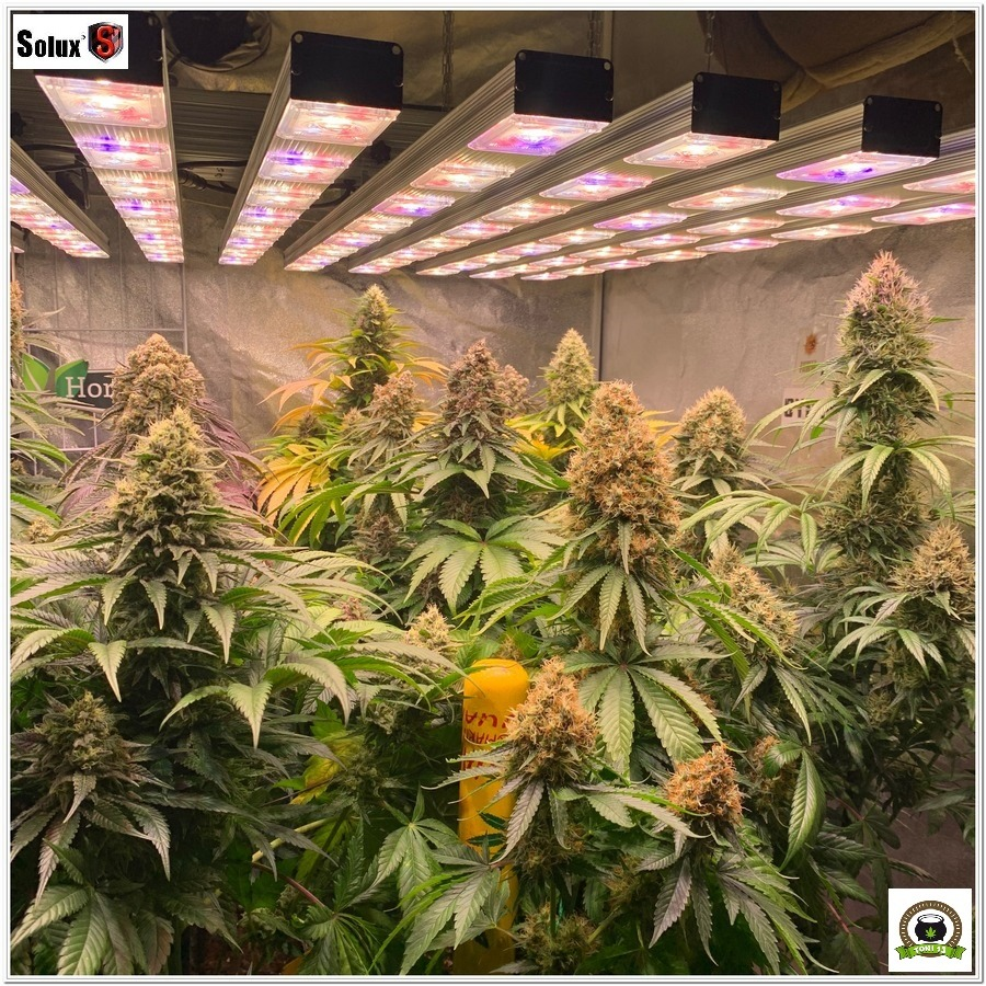 Led Vega Pro Solux de 720W cultivo marihuana interior por Toni13