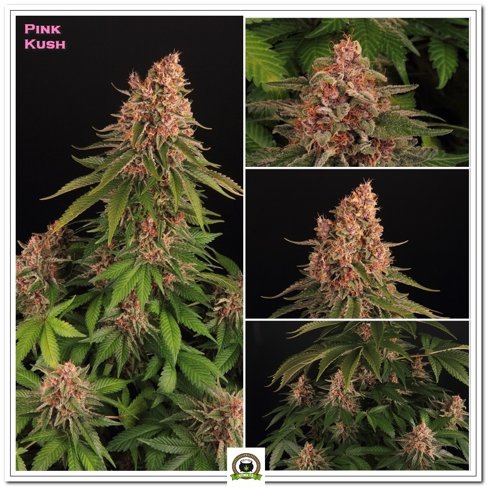 Pink Kush Barneys Farm seleccion