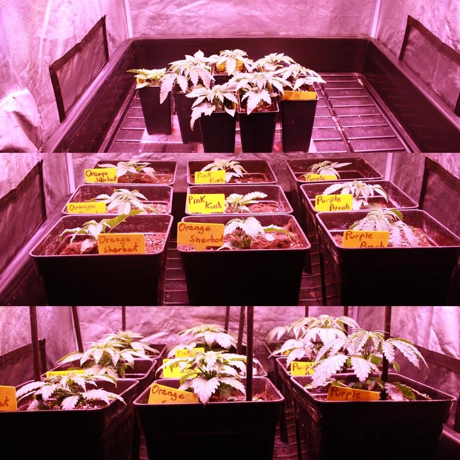 cultivo de marihuana extremo verano interior 1 pro-xl organic