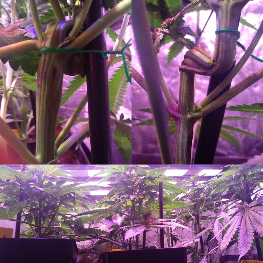 cultivo marihuana extremo verano interior 3