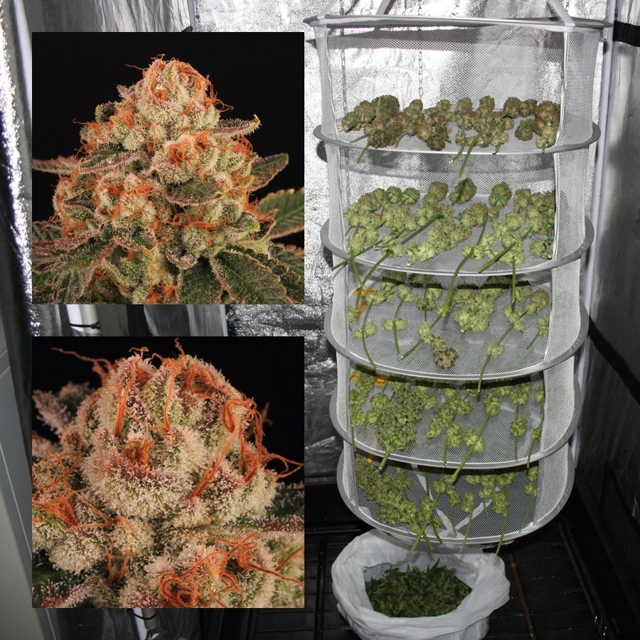 cultivo marihuana extremo verano interior 7