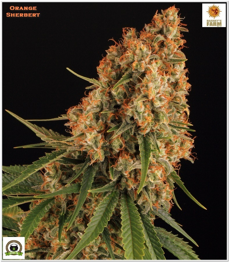 Orange Sherbert Barney´s Farm indoor grow 2
