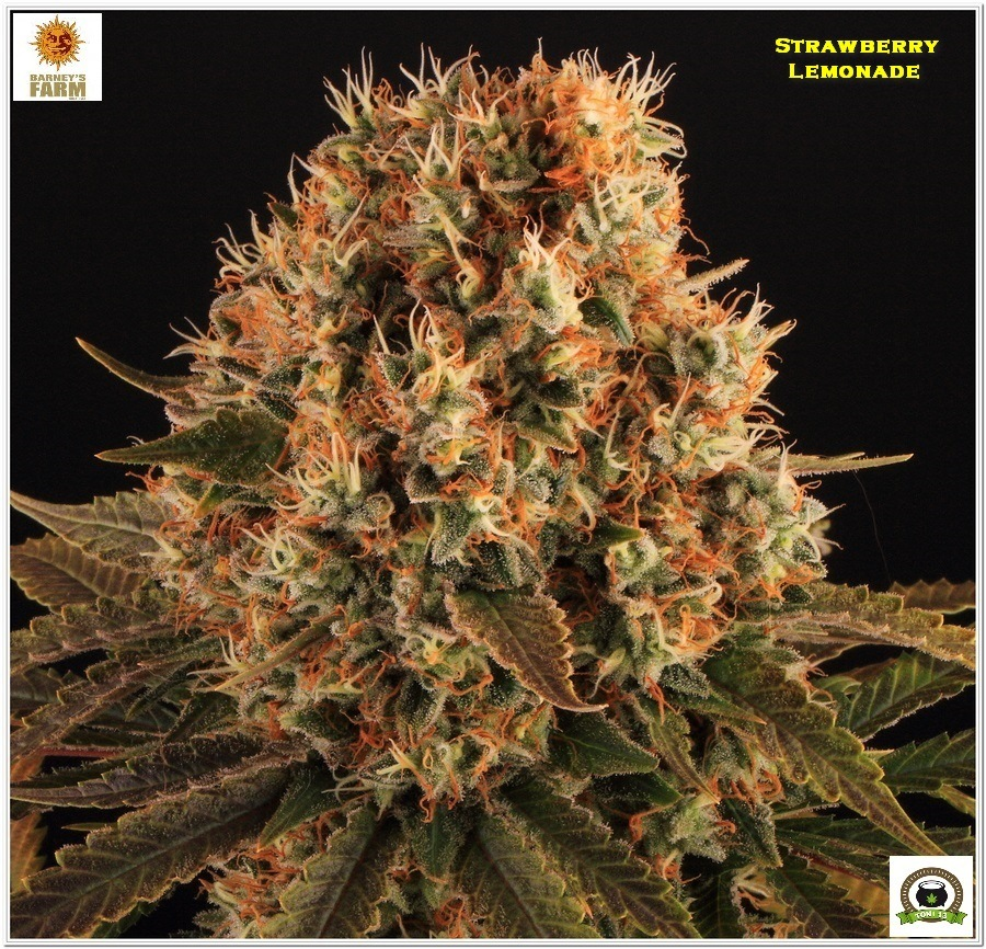 Strawberry lemonade Barney´s Farm indoor grow 3