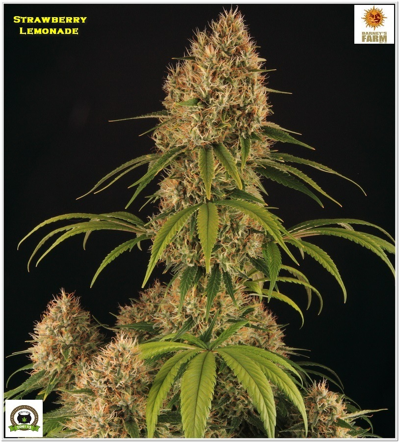 Strawberry lemonade Barney´s Farm indoor grow 6