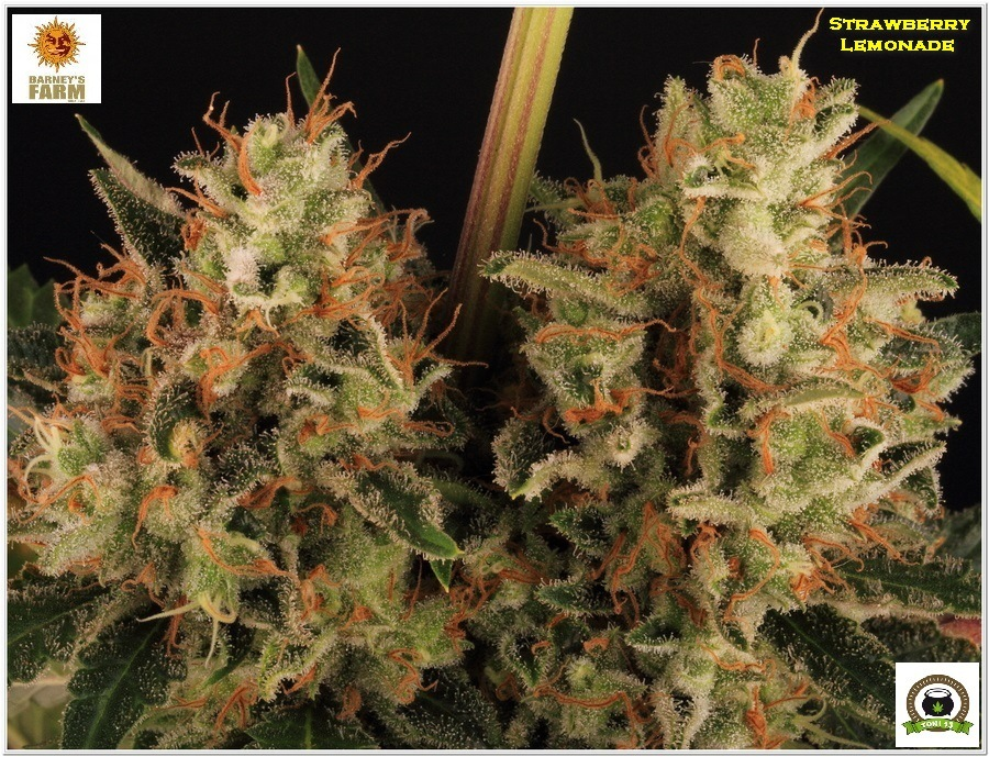 Strawberry lemonade Barney´s Farm indoor grow 4