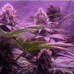 Cultivo de marihuana extremo en verano e interior by Bafy