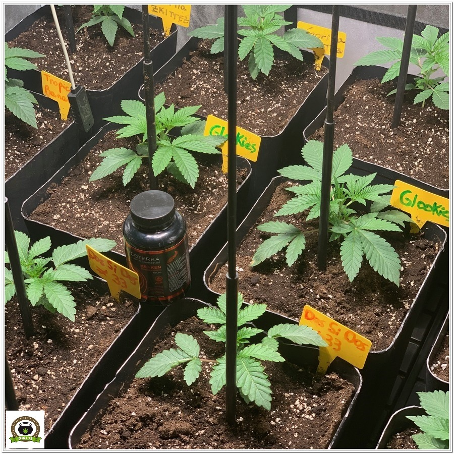 Kraken mycoterra micorrizas para plantas de marihuana
