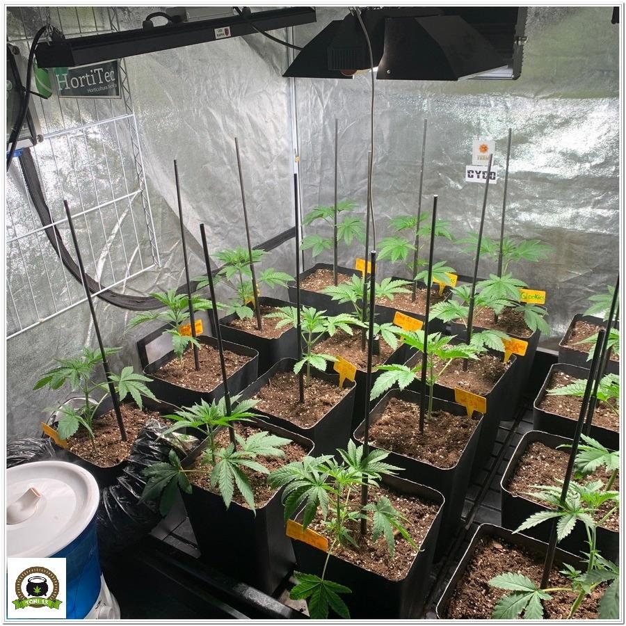 Crecimiento de plantas marihuana barneys Farm