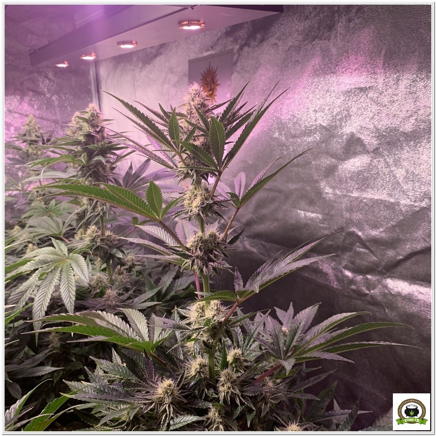 indoor grow Dos Si Dos 33 barneys farm 3