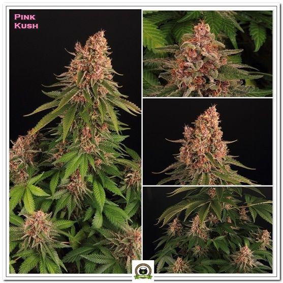 Pink Kush, maravilla cannábica, fotos de mariahuana, cultivando medicina.