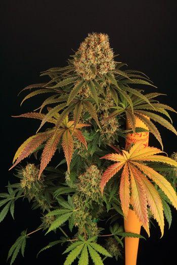 Strawberry Lemonade, variedades de marihuana, cultivando medicina.