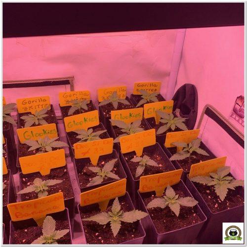 barneys-farm-seguimiento-crecimiento