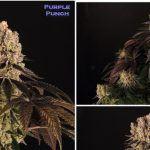 20- Barney's Farm y Toni13: Nota de cata de Purple punch