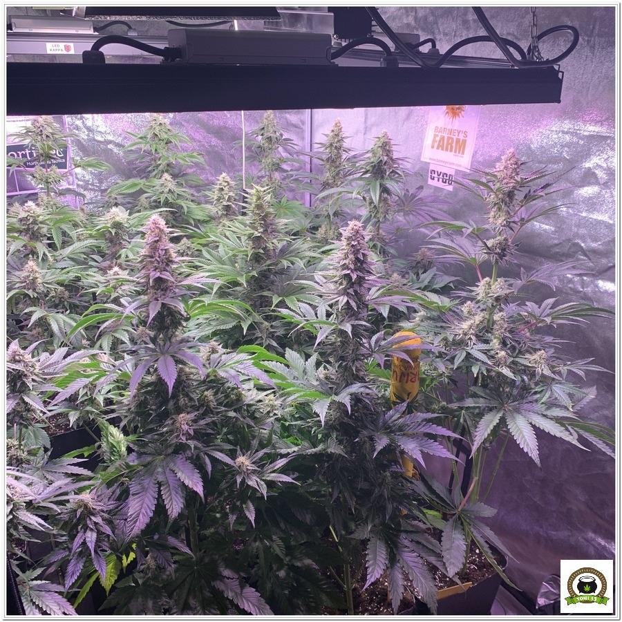 indoor grow Dos Si Dos 33 barneys farm 6