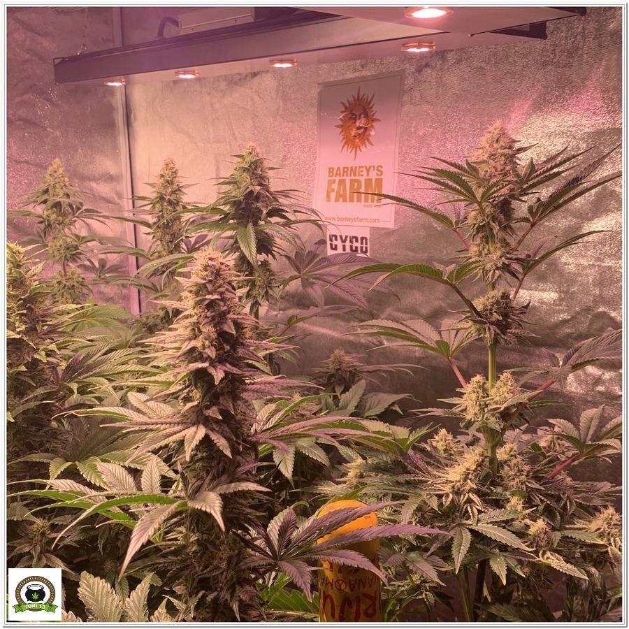 indoor grow Dos Si Dos 33 barneys farm 8