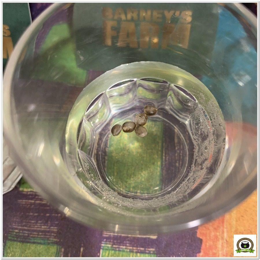 1-Barney`s Farm y toni13: Blueberry OG, Cookies Kush, Shiskaberry y Blue Gelato 41
