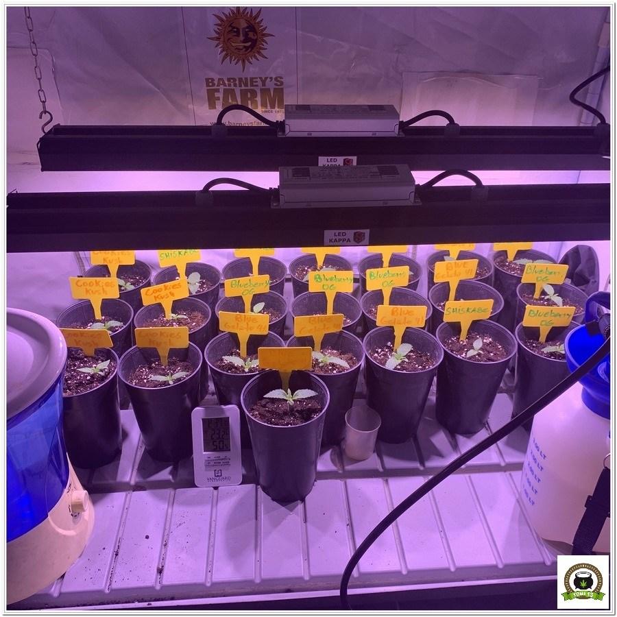 3-Barney`s Farm y toni13: Blueberry OG, Cookies Kush, Shiskaberry y Blue Gelato 41-3
