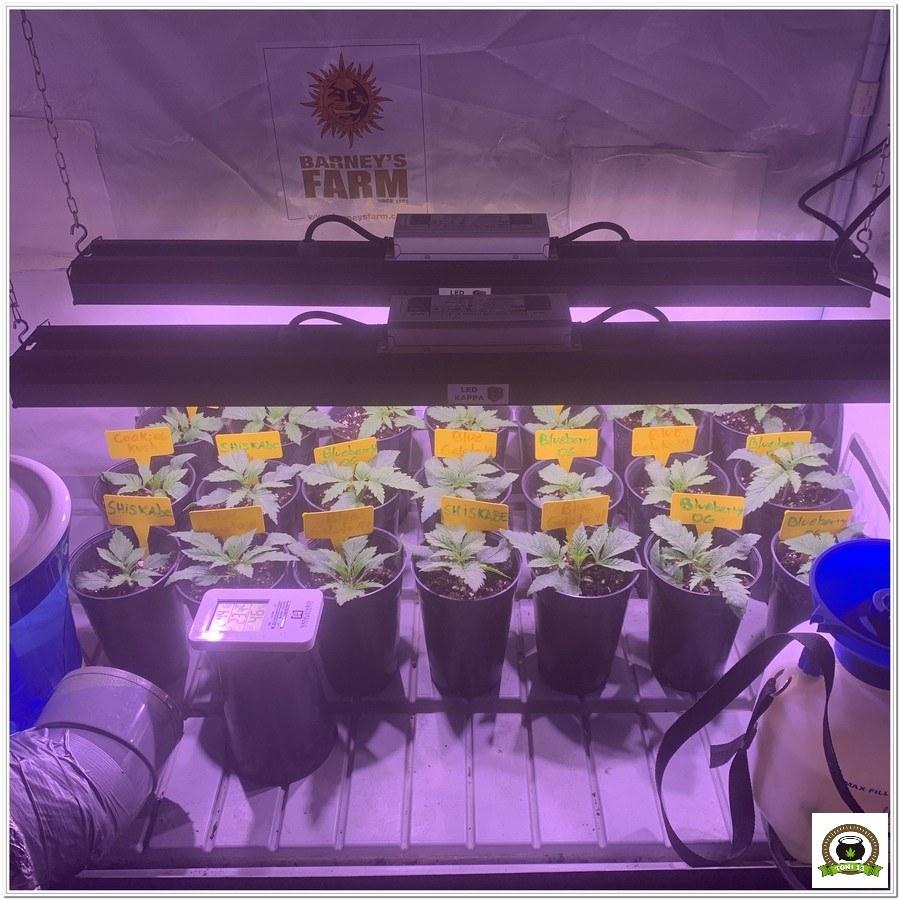 3-Barney`s Farm y toni13: Blueberry OG, Cookies Kush, Shiskaberry y Blue Gelato 41-5