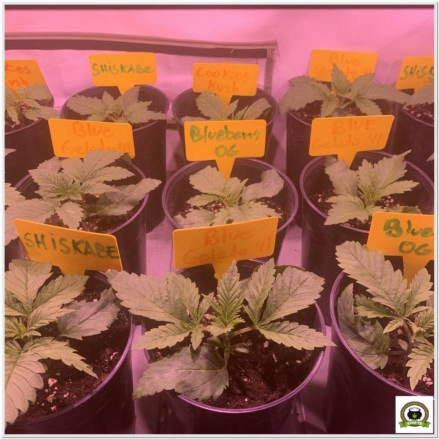 3-Barney`s Farm y toni13: Blueberry OG, Cookies Kush, Shiskaberry y Blue Gelato 41-6