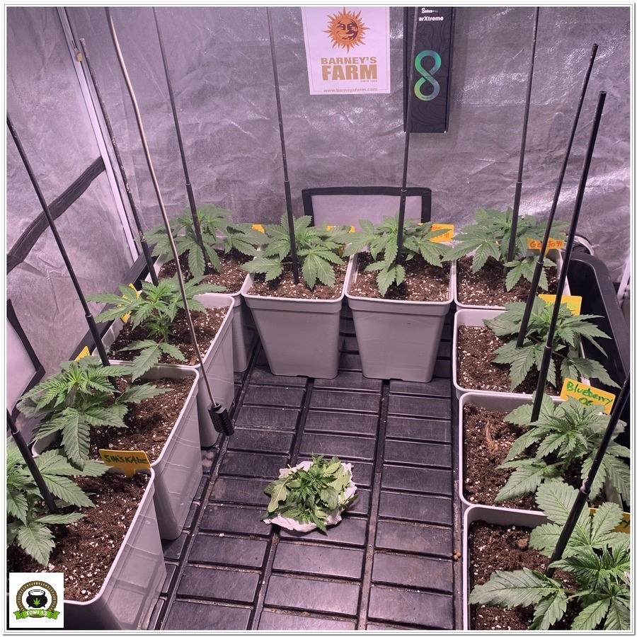4-Barney`s Farm y toni13: Blueberry OG, Cookies Kush, Shiskaberry y Blue Gelato 41-6