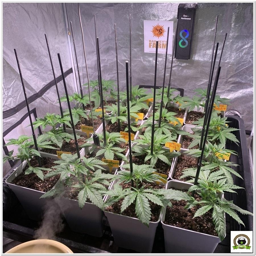 -Barney`s Farm y toni13: Blueberry OG, Cookies Kush, Shiskaberry y Blue Gelato 41-1