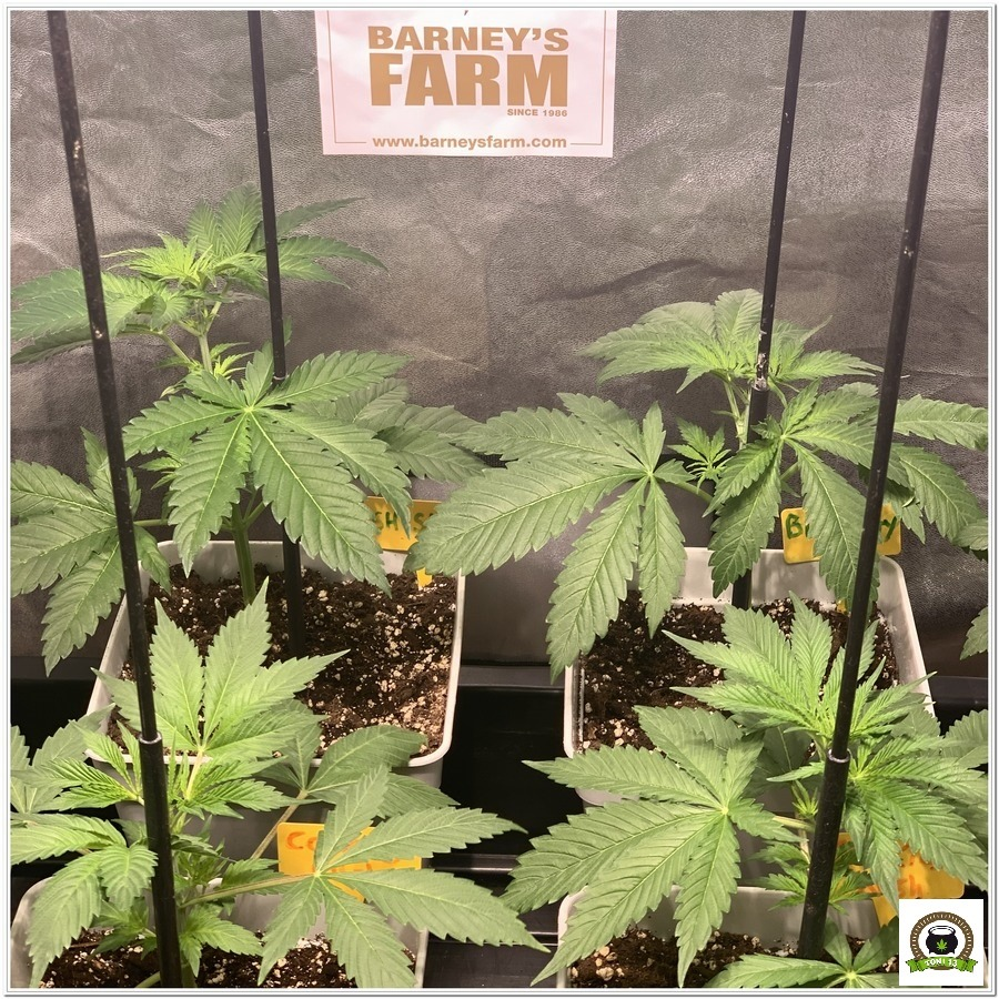 -Barney`s Farm y toni13: Blueberry OG, Cookies Kush, Shiskaberry y Blue Gelato 41-4